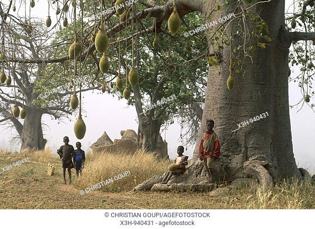 baobab,pays otammari ou somba,region de l'Atakora,Benin,Golfe de Guinee,Afrique de l'ouest,Gulf of Guinea,West Africa