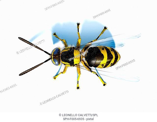 Hornet Vespa sp., computer artwork
