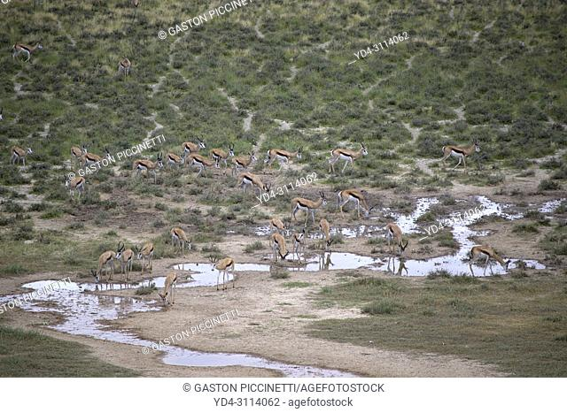 Springbok (Antidorcas marsupialis), approaching to the waterhole, Polentswa Pan, Kgalagadi Transfrontier Park in rainy season, Kalahari Desert