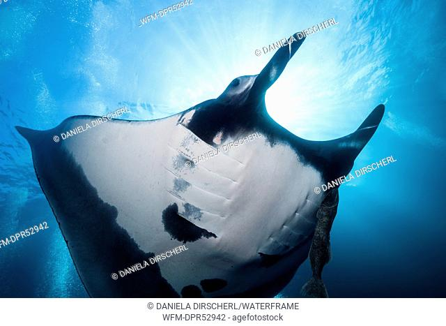 Manta, Manta birostris, Socorro, Revillagigedo Islands, Mexico