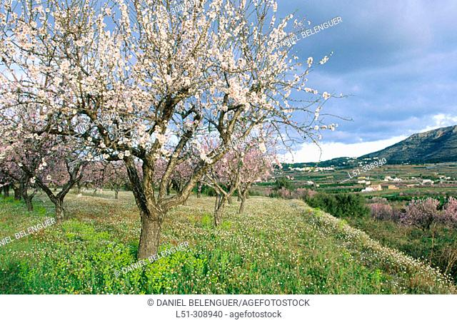 Almond trees in blossom. Javea. Alicante province, Spain