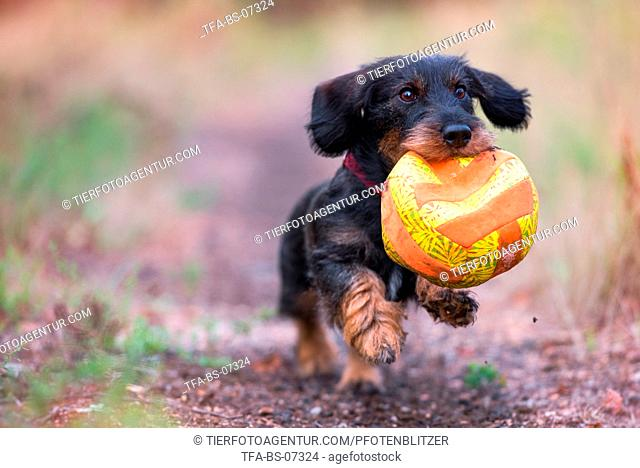 playing wirehaired Dachshund