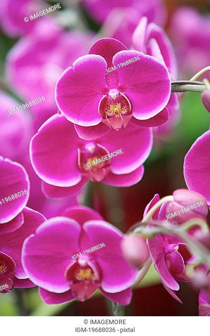 Close-up of moth orchid