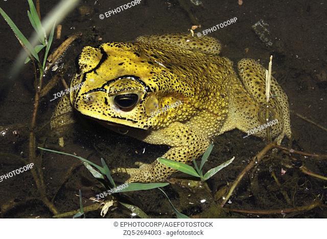 Common Indian Toad Duttaphrymus melanostictus Male (Jalgaon dis. )