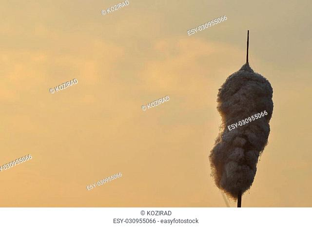 Water truncheons. Wiatr.Wsch?d seeds carried by the sun on the wetlands