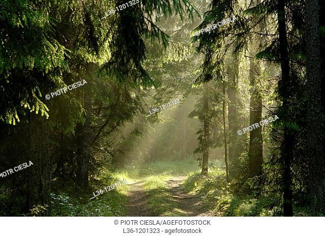 Knyszynska Forest liies in the Podlasie region, eastern Poland