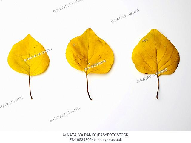 three yellow dried apricot leaves on a white background, autumn backdrop