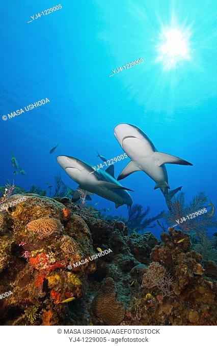 Caribbean reef sharks, Carcharhinus perezi, swimming over coral reef, Grand Bahama, Bahamas, Caribbean Sea, Atlantic Ocean