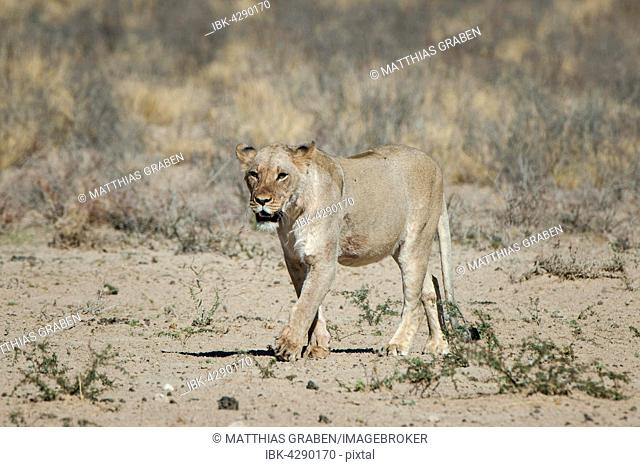 Lioness (Panthera leo) walking, Kgalagadi Transfrontier Park, Northern Cape Province, South Africa