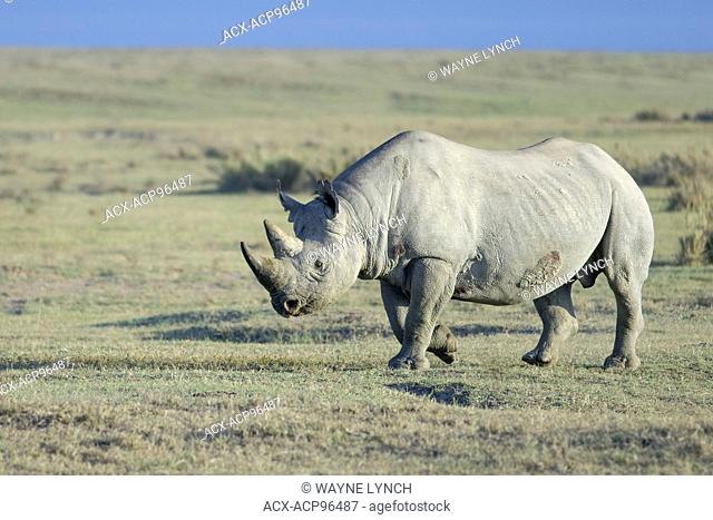 Endangered Black rhinoceros (Diceros bicornis), Nakuru National Park, Kenya, East Africa