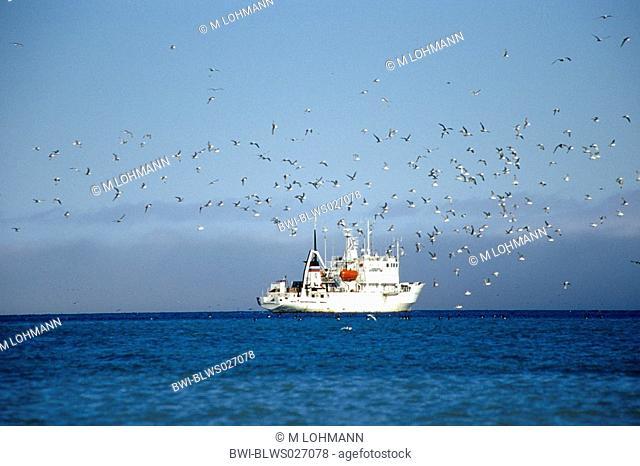 Bruennich's guillemot Uria lomvia, swarm in front of research ship near Alkefjellet, Norway, Spitsbergen