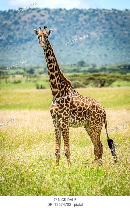 Masai giraffe (Giraffa camelopardalis tippelskirchii) pokes head out from bush, Klein's Camp, Serengeti National Park; Tanzania
