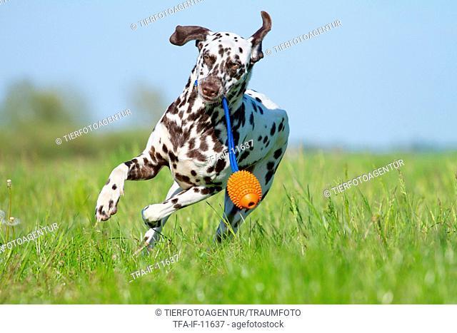 playing Dalmatian