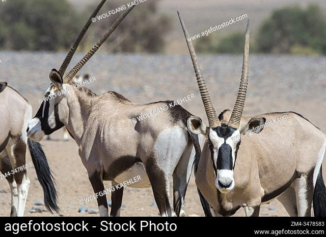 South African oryxes (Oryx gazellaat), also called Gemsbok or gemsbuck, on the way to a water hole in the desert landscape of Sossusvlei
