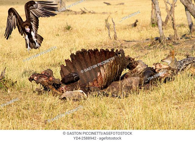 Hooded Vulture (Necrosyrtes monachus), and Black-backed Jackal (Canis mesomelas) - At the carcass of a Cape Buffalo (Syncerus caffer caffer)