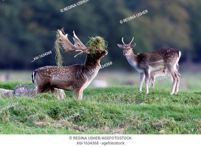 Fallow Deer Dama dama, Buck Displaying with Grass on Antlers during the Rut, , Royal Deer Park, Klampenborg, Copenhagen, Sjaelland, Denmark