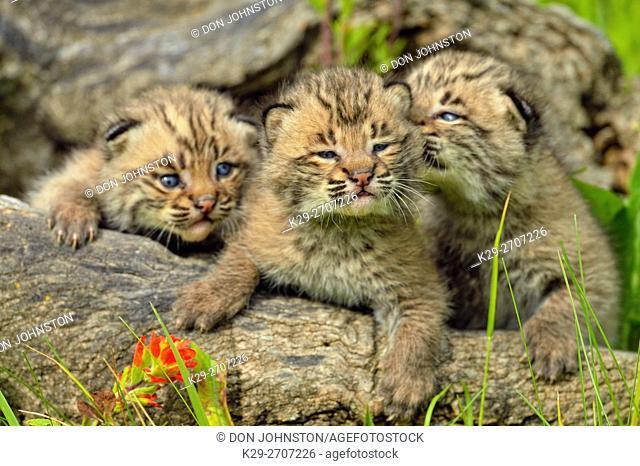 Bobcat (Felis rufus) Kitten, captive raised, Minnesota wildlife Connection, Sandstone, Minnesota, USA