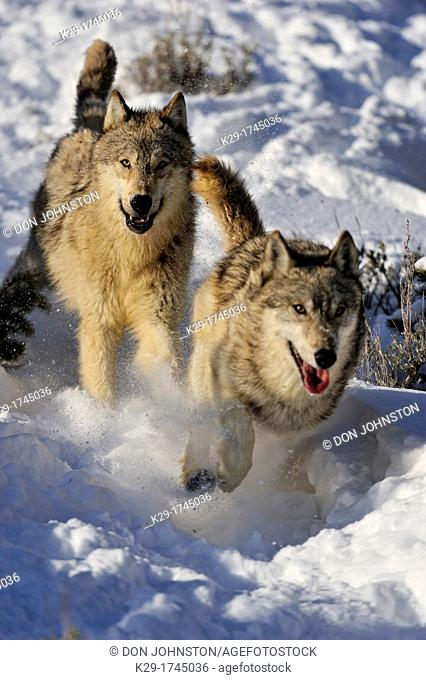Grey Wolf Timber Wolf Canis lupus Pack interaction behaviour, Bozeman, Montana, USA