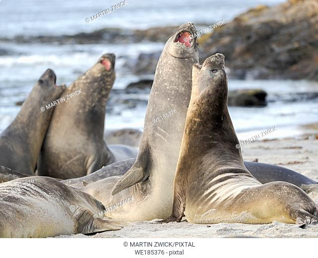 Southern elephant seal (Mirounga leonina) after harem and breeding season. Young bulls fighting and establishing pecking order