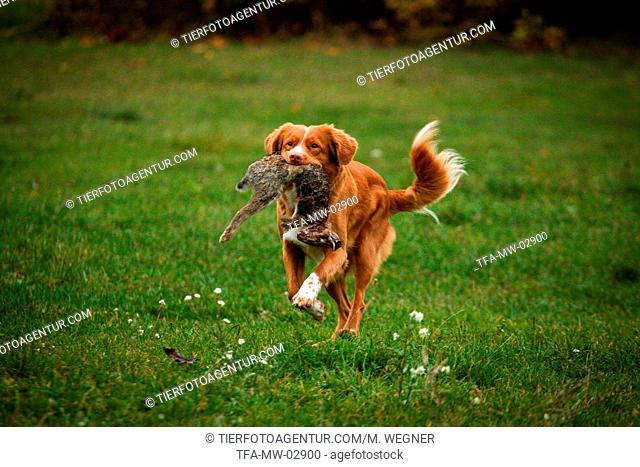 running Nova Scotia Duck Tolling Retriever