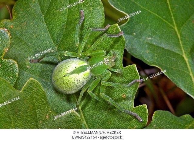 Green huntsman spider, Green spider (Micrommata virescens, Micrommata rosea, Micrommata roseum, Micrommata viridissima), female, Germany
