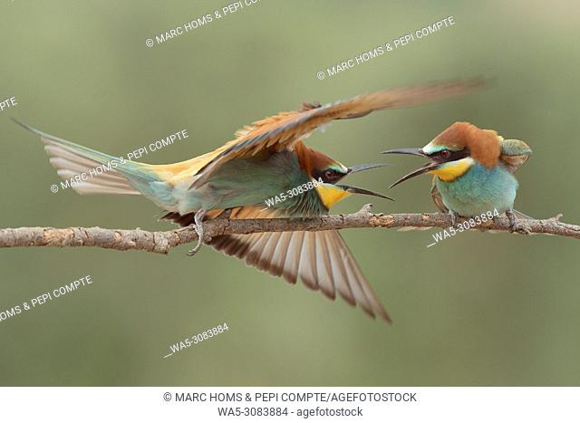 European Bee Eaters fighting posed on a trunk in Garrotxa, catalonia, Spain