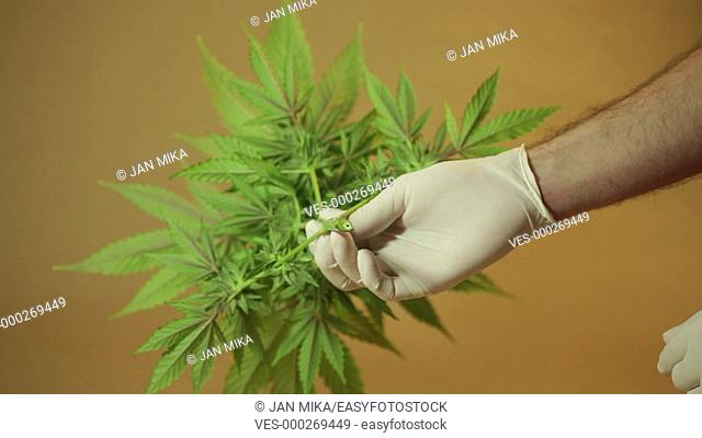Hands showing harvested Cannabis plant with Marijuana buds