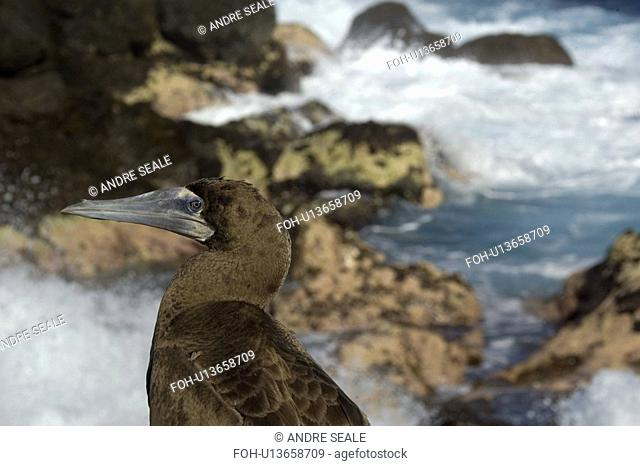 Brown booby, Sula leucogaster, and waves breaking, St. Peter and St. Paul's rocks, Brazil, Atlantic Ocean