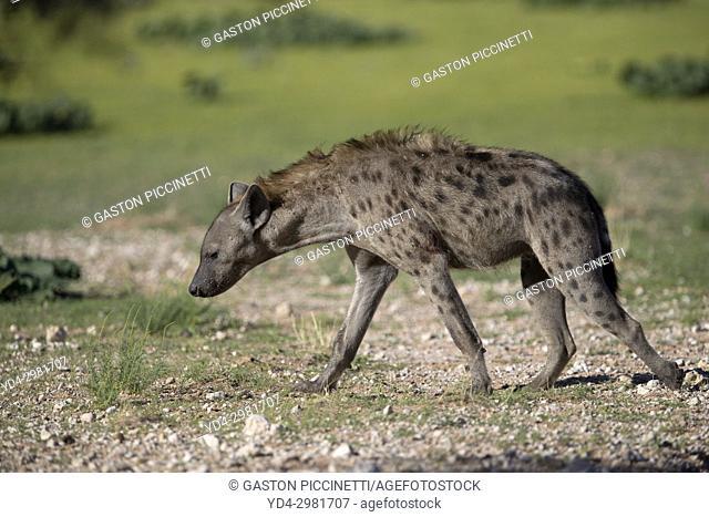 Spotted hyaena (Crocuta crocuta), Kalahari desrt, Kgalagadi Transfrontier Park, South Africa