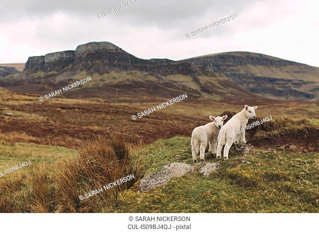 Lambs on hillside, Orbost, Isle of Skye, Scotland, UK