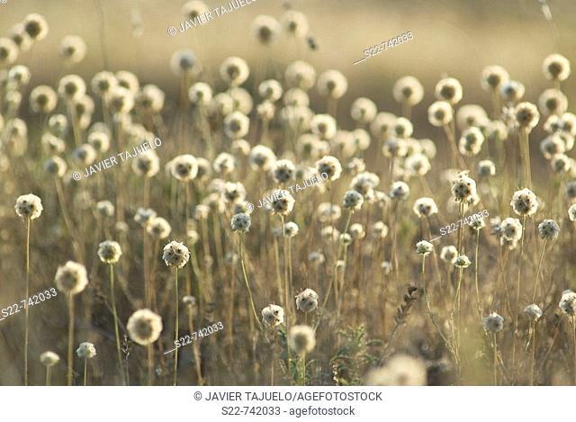 Starflower pincushions (Scabiosa stellata)