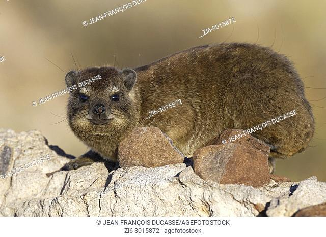 Cape hyrax (Procavia capensis) lying on a stonewall, morning light, Hardap Nature Reserve, Hardap region, Namibia, Africa