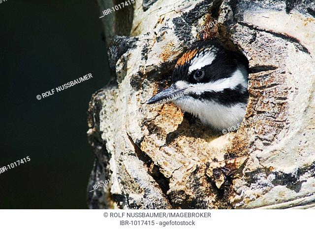 Hairy Woodpecker (Picoides villosus), young in nesting cavity in aspen tree, Rocky Mountain National Park, Colorado, USA