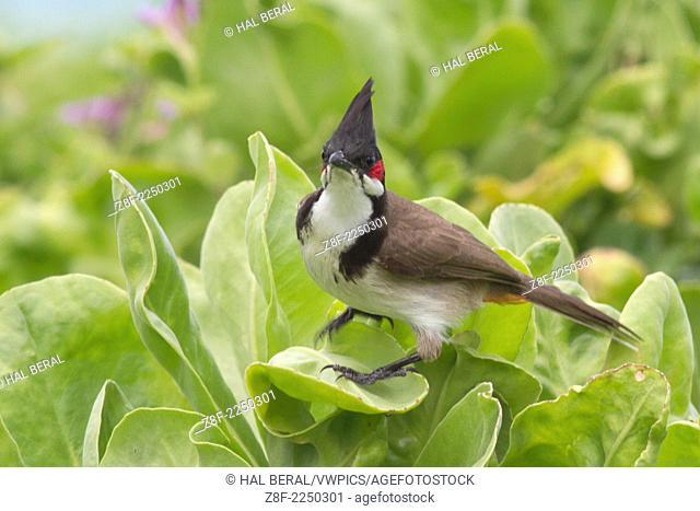 Red-Whiskered Bulbul (Pycnonotus jocosus) Oahu, Hawaii