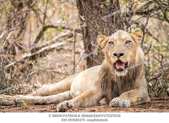 Young male Lion laying in the Kruger National Park, South Africa