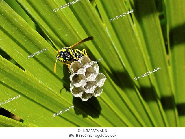 Paper wasp (Polistes gallicus, Polistes dominulus), wasp nest at a palm leaf, Spain, Andalusia
