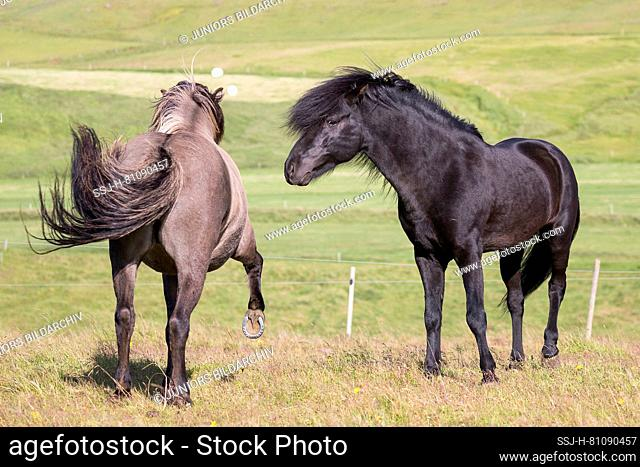 Icelandic Horse. Black stallion courts a dun mare. She rejects him. Iceland