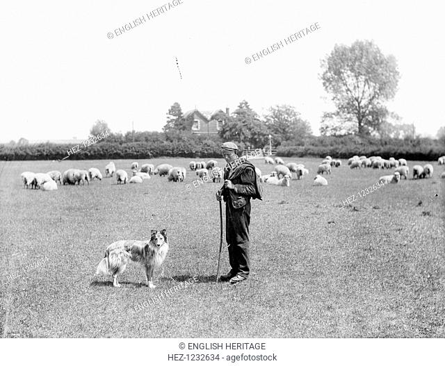A shepherd and his dog, 1901. A shepherd and his dog and flock of sheep in a field behind H W Taunt's house 'Rivera', which is visible beyond