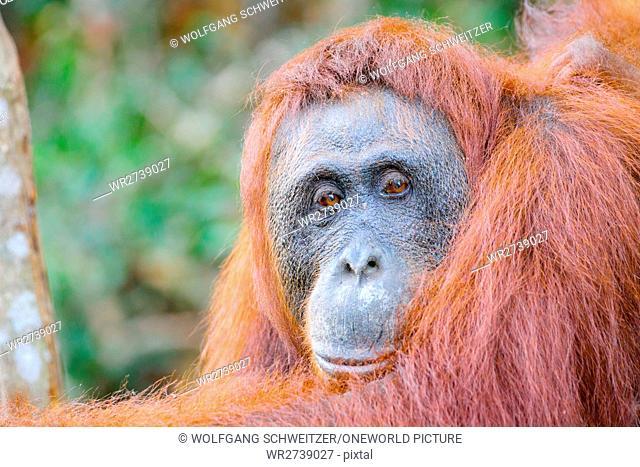 Indonesia, Kalimantan, Borneo, Kotawaringin Barat, Tanjung Puting National Park, close-up of an orangutan
