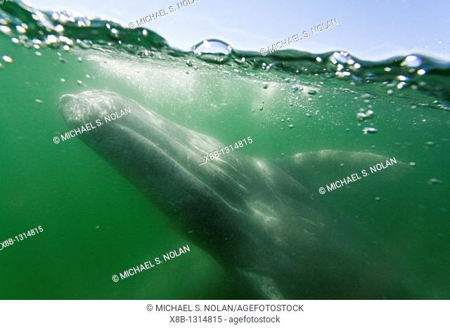 California gray whale Eschrichtius robustus calf photographed half above and half below the water in San Ignacio Lagoon on the Pacific side of the Baja...