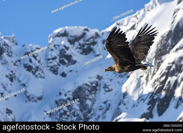 A white-tailed eagle (Haliaeetus albicilla) is flying through the snow covered Trollfjord on Austvag Island in the Lofoten Islands, Nordland County, Norway