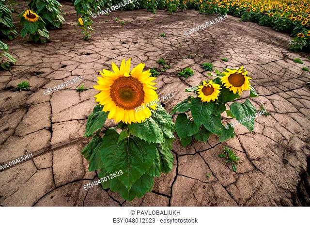 erosion of the soil of the sunflower field, separate flowers of drought
