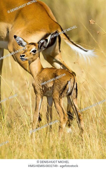 Kenya, Masai Mara National Reserve, Impala (Aepyceros melampus), female and young