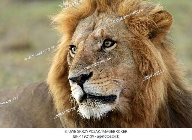 Male lion (Panthera leo), portrait, Maasai Mara National Reserve, Narok County, Kenya
