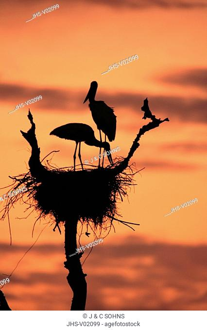 Jabiru,Jabiru mycteria,Pantanal,Brazil,adults,pair,couple,on nest,sunrise