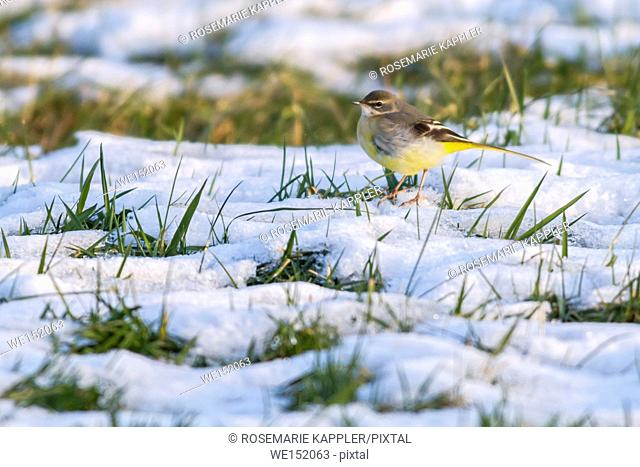 Germany, Saarland, Homburg - A grey wagtail in the snow
