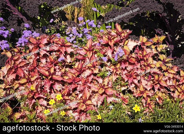 Garden border in early autumn with yellow Potentilla cinquefoil flowers and red Solenostemon - Coleus subshrubs in the foreground with Blue floss flowers and...