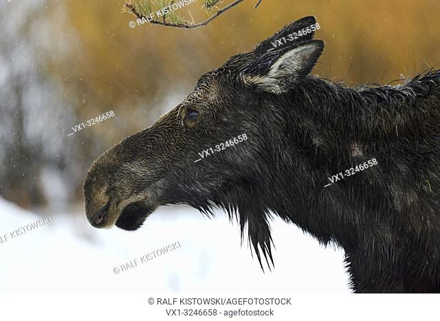 Moose / Elch ( Alces alces ), headshot of an adult female, cow, on a rainy day in winter, Yellowstone Area, Grand Teton, Wyoming, USA.