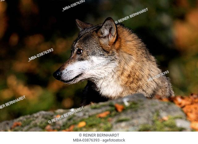European wolf on the deerstalking