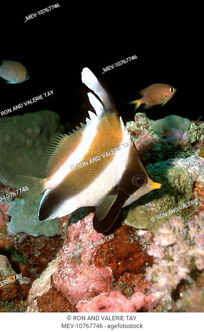 Pennant / Horned BANNERFISH / Threeband Pennantfish / Horned Coralfish - lives around coral caves, often in pairs (Heniochus chrysostomus)